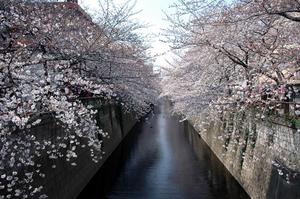 meguro-sakura.jpg